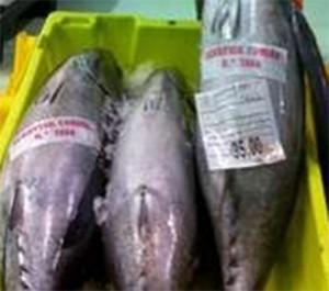 White tuna in plastic crates