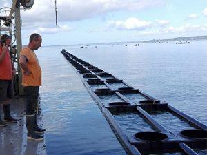 Longline para cestos de ostra